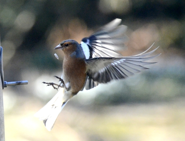 chaffinch dropping seed