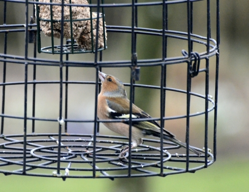 chaffinch in fortress