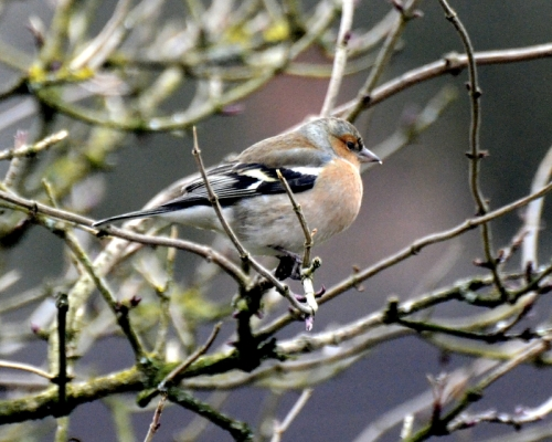chaffinch in elder