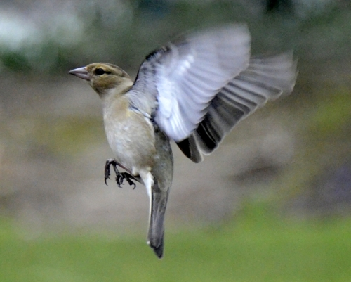 female chaffinch