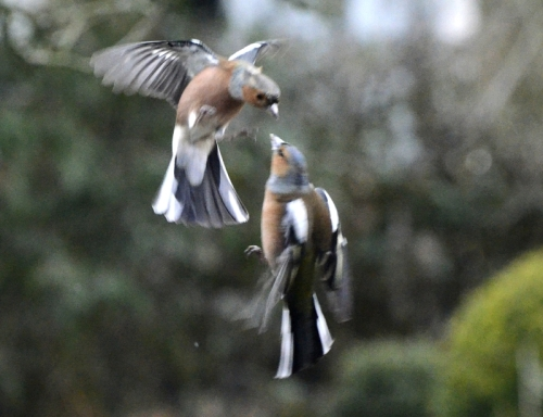 chaffinches head to head