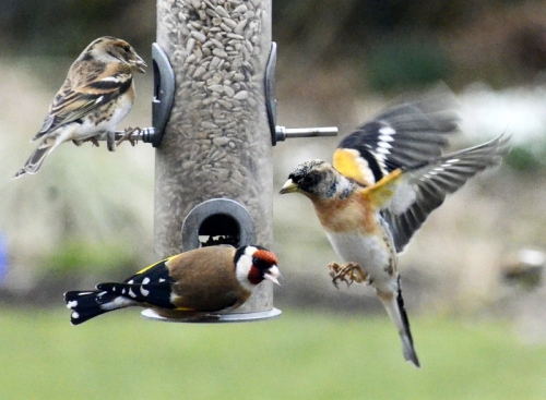 goldfinch and brambling