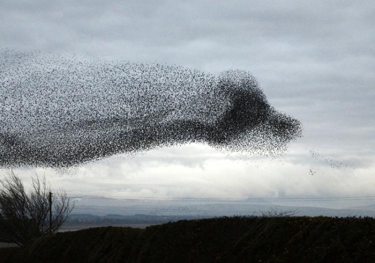starlings at Gretna