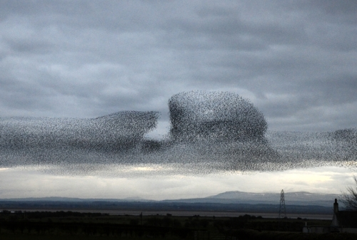 starlings at Rigg