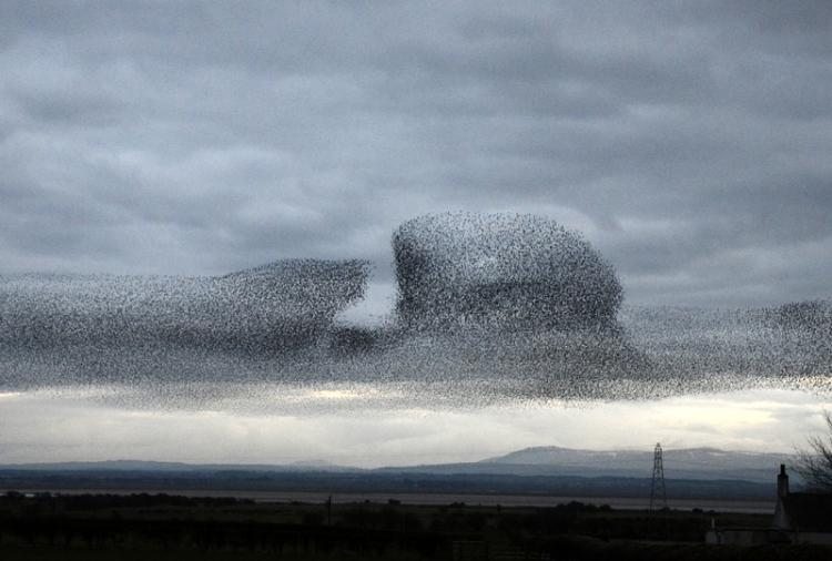 starlings at Rigg