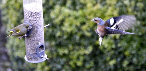 chaffinch getting stick