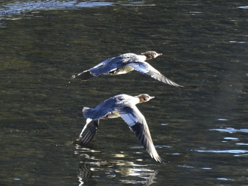 flying goosanders