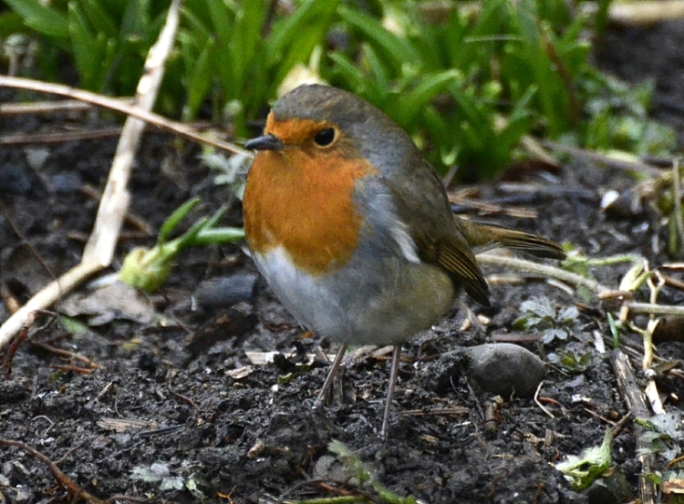 That robin again