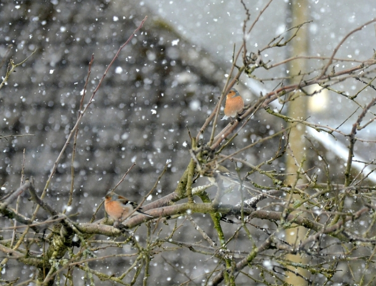snowy chaffinches