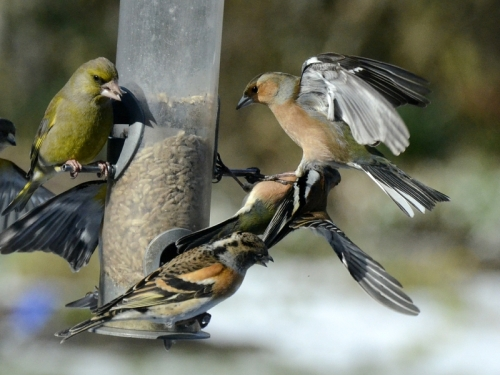 chaffinch brutality
