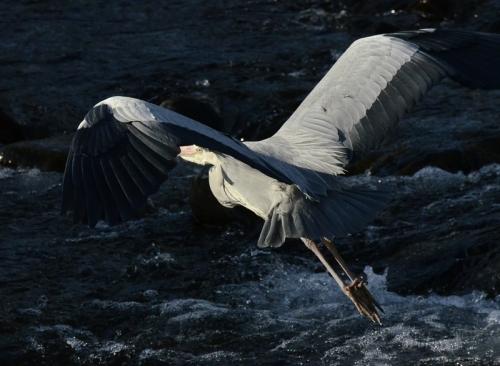 heron fying