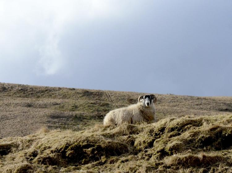 sheep at Lodgegill