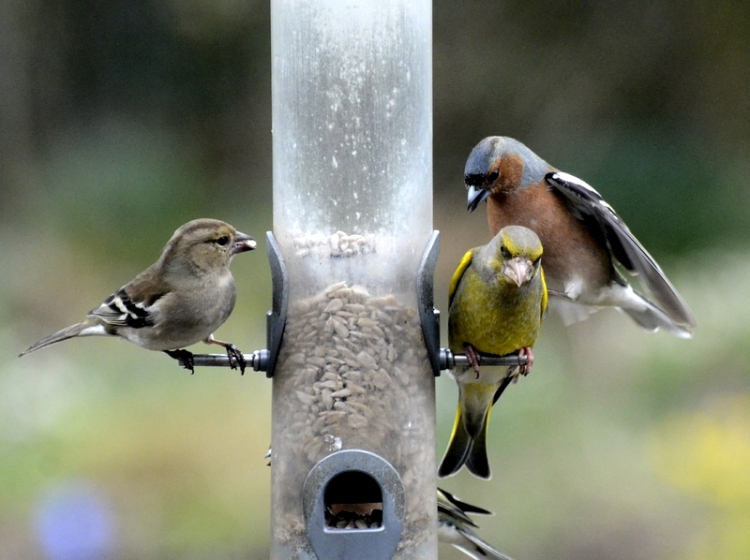 greenfinch and chaffiinch