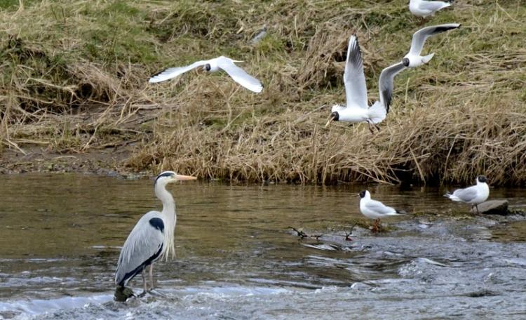 heron and gulls