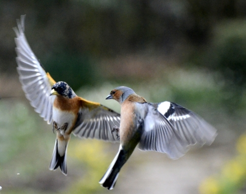chaffinche and bramblings
