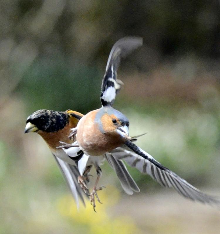 chaffinch and brambling