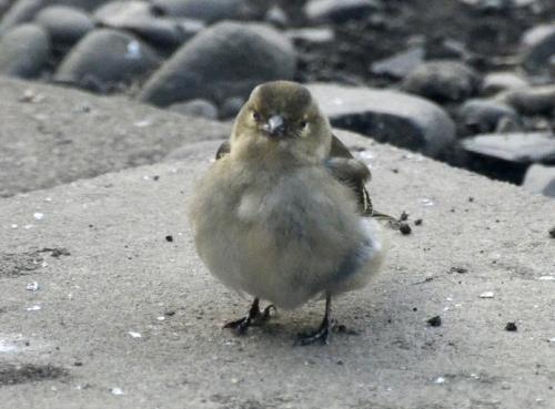 fluffy chaffinch
