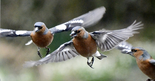 chaffinch formation flying