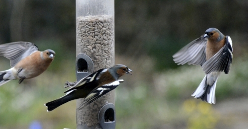artistic chaffinches