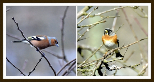 chaffimch and brambling