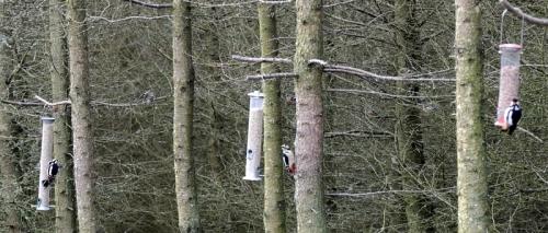 triple woodpecker