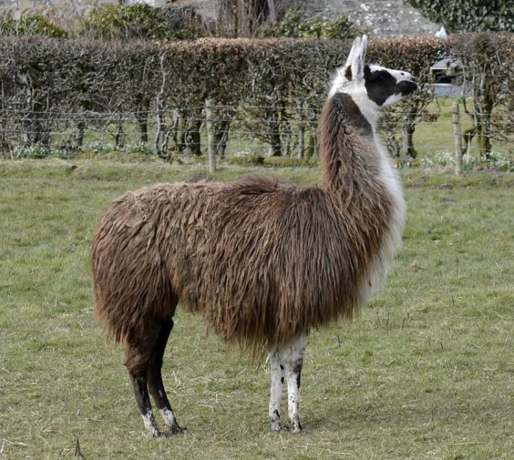 alpaca posing