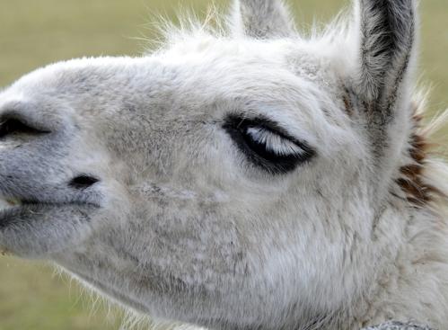 alpaca eyelash