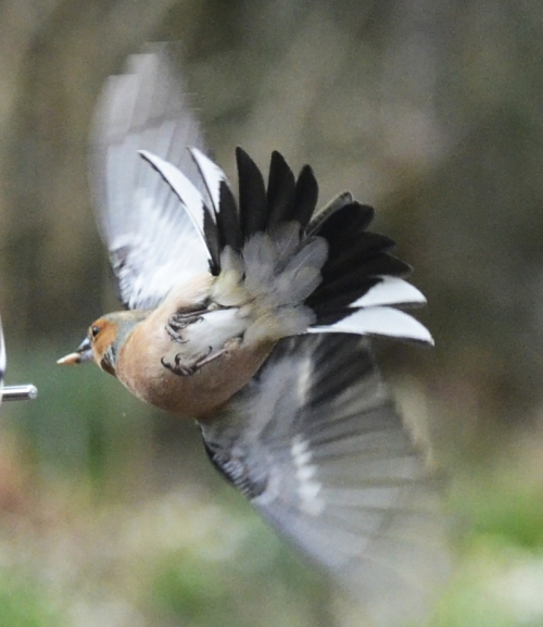 flying chaffinch with seed