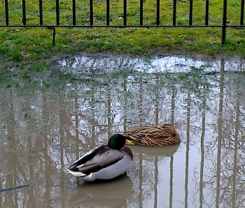 Ducks asleep in a puddle,