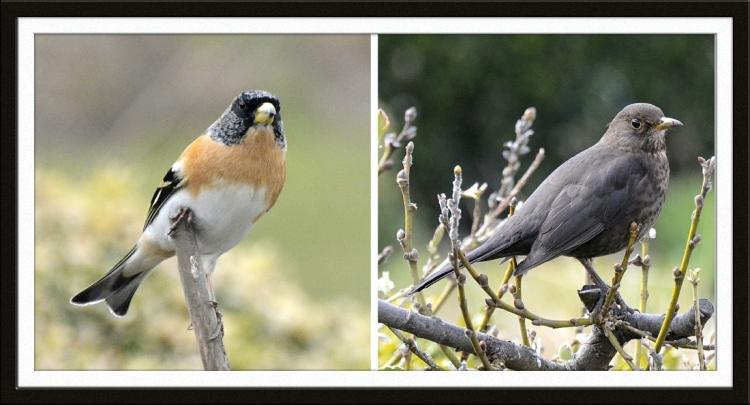 brambling and blackbird