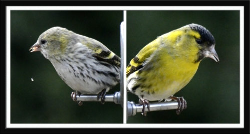 female and male siskin