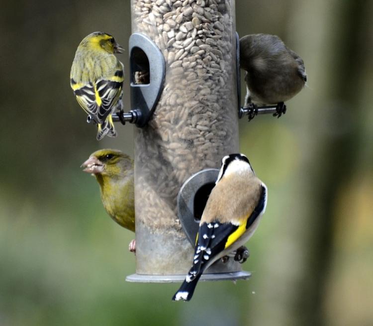 Siskin, chaffinch, goldfinch and greenfinch