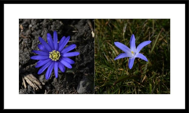 anemone chionodoxa