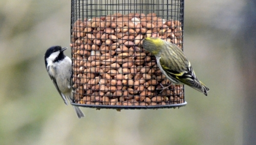 coal tit and siskin
