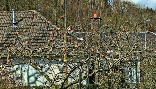 chaffinches in tree