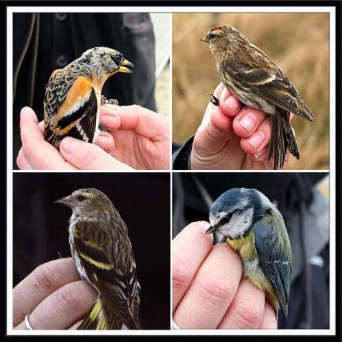 ringed birds