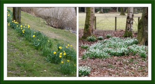 daffs and snowdrops
