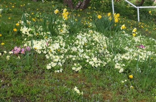 Coleford primroses