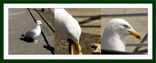 gull thief