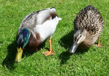 bruce's ducks