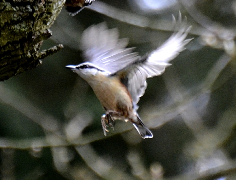 flying nuthatch