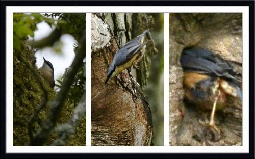 nestbound nuthatch