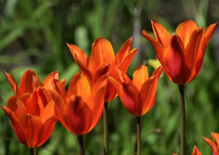 tulips seen from the side