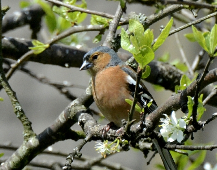 chcchaffinch and plum blossoms
