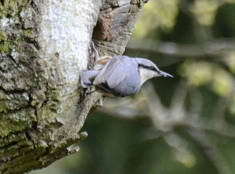 nuthatch at the nest