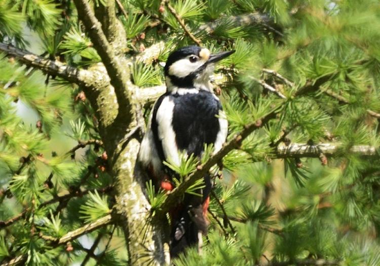 woodpecker up a tree