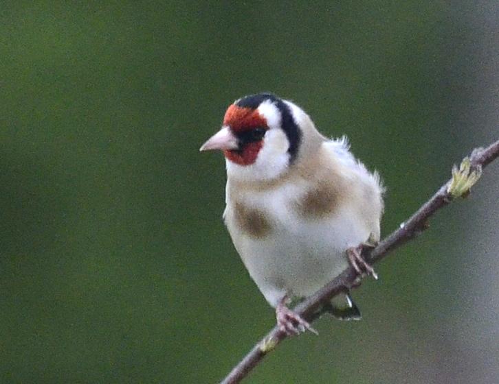 goldfinch in a breeze