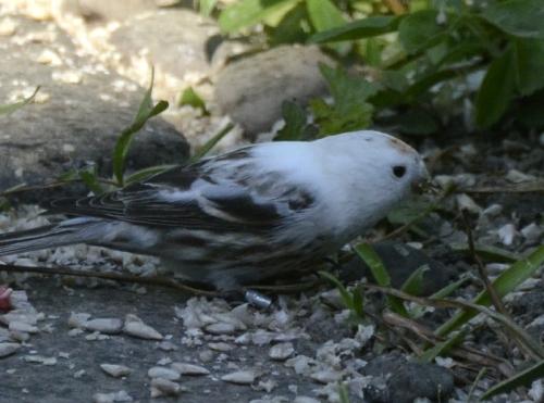 albino redpoll