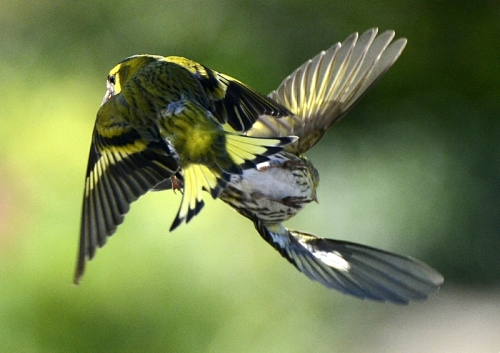 two flying siskins