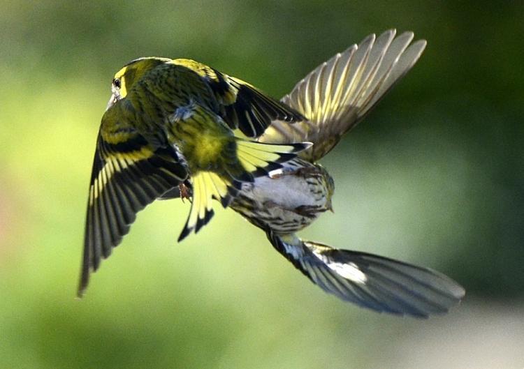 two flying siskins